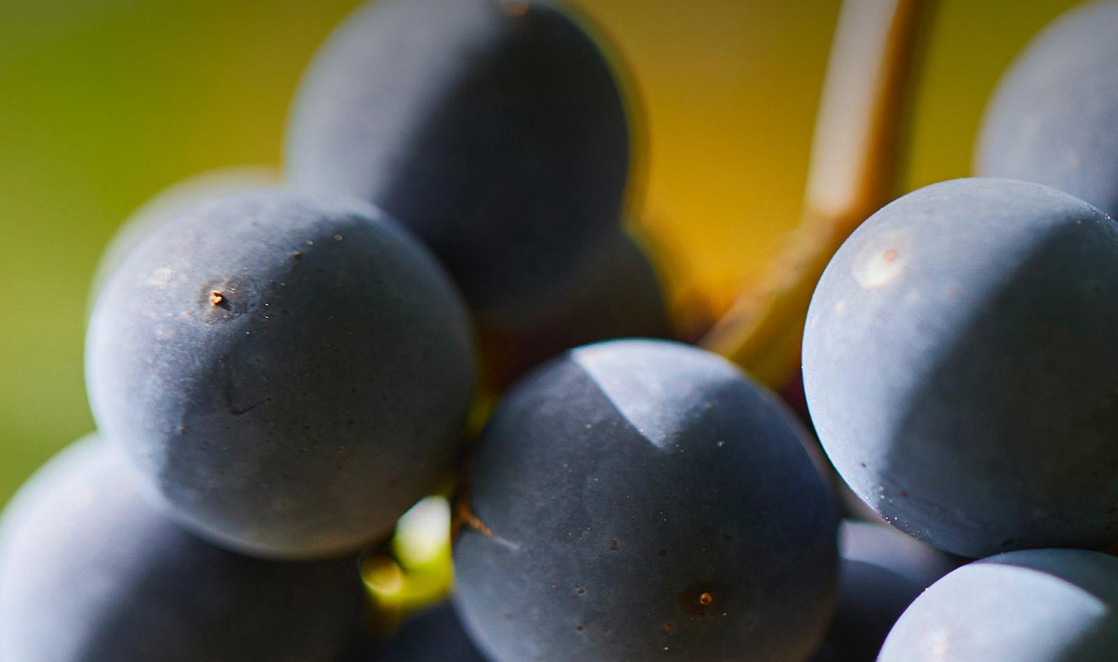 Closeup of grapes on the vine